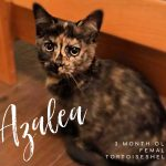 Image of Azalea