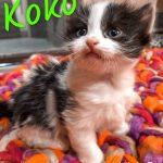 Image of Koko - Reserved