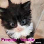 Image of Freesia