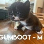 Image of Gumboot (Reserved)