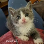 Image of Cavalon (reserved)