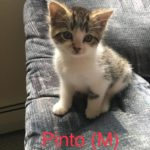 Image of Pinto (reserved)